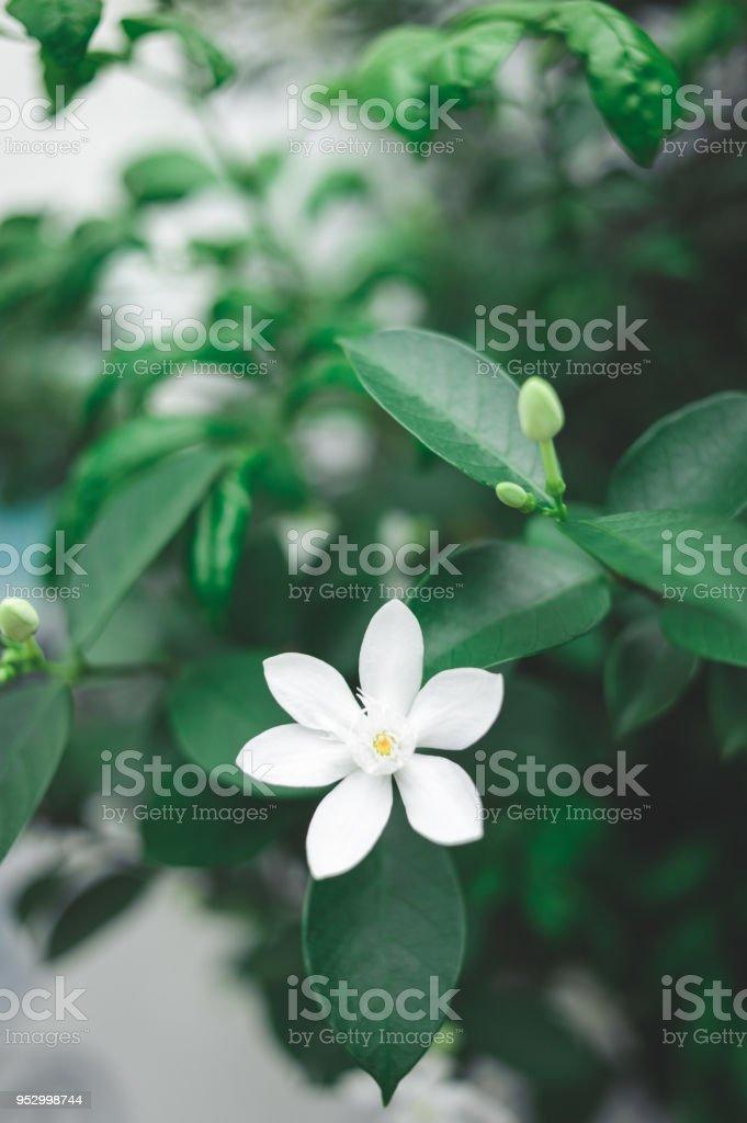 White Gardenia flower in garden