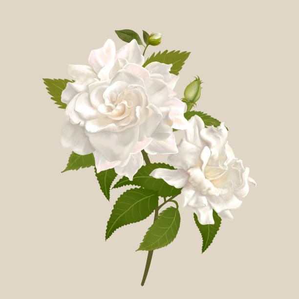 White gardenia flowers stock photo