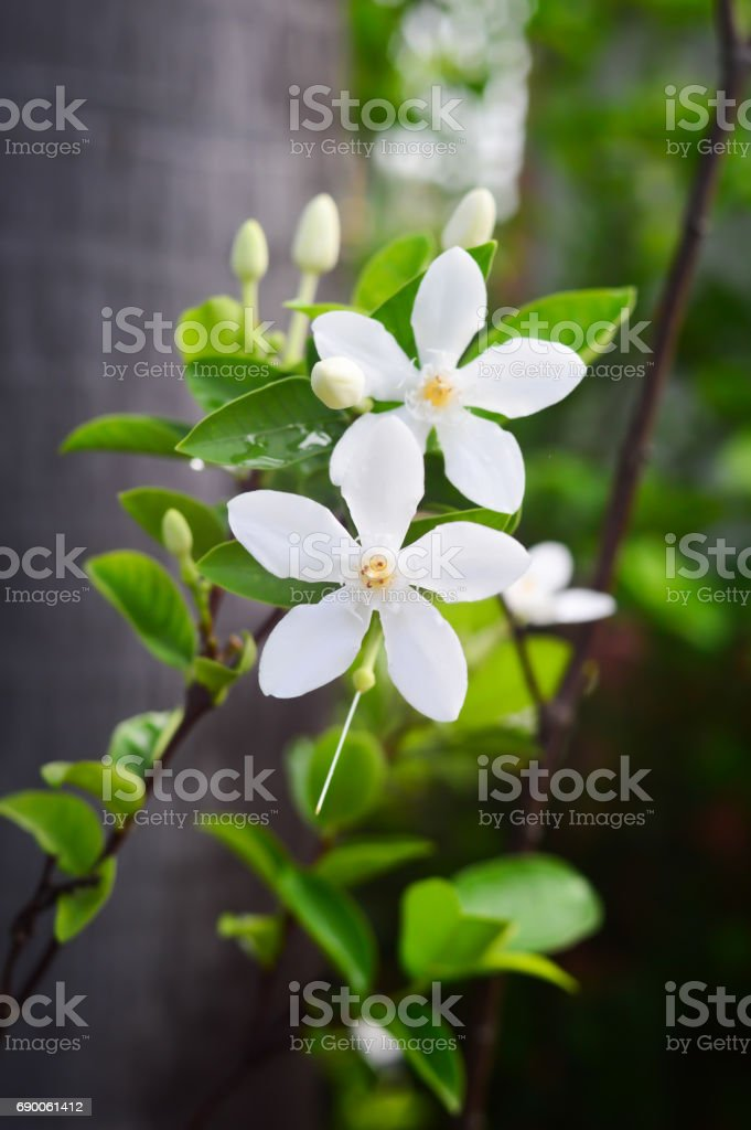 White Gardenia flowers stock photo