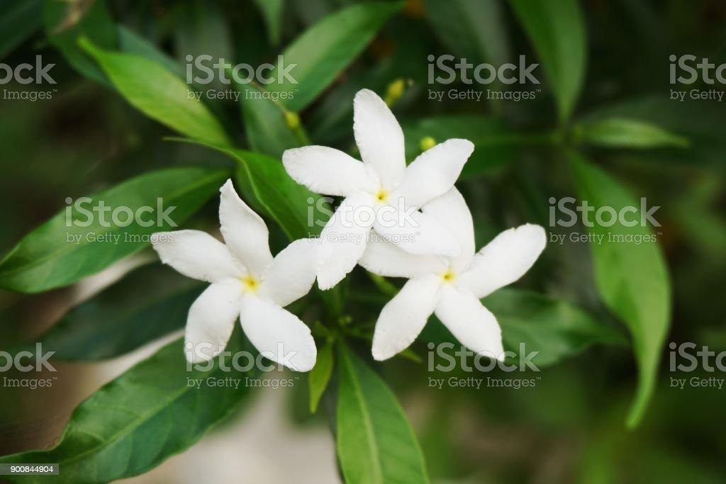white Gardenia jasminoides flower in nature garden