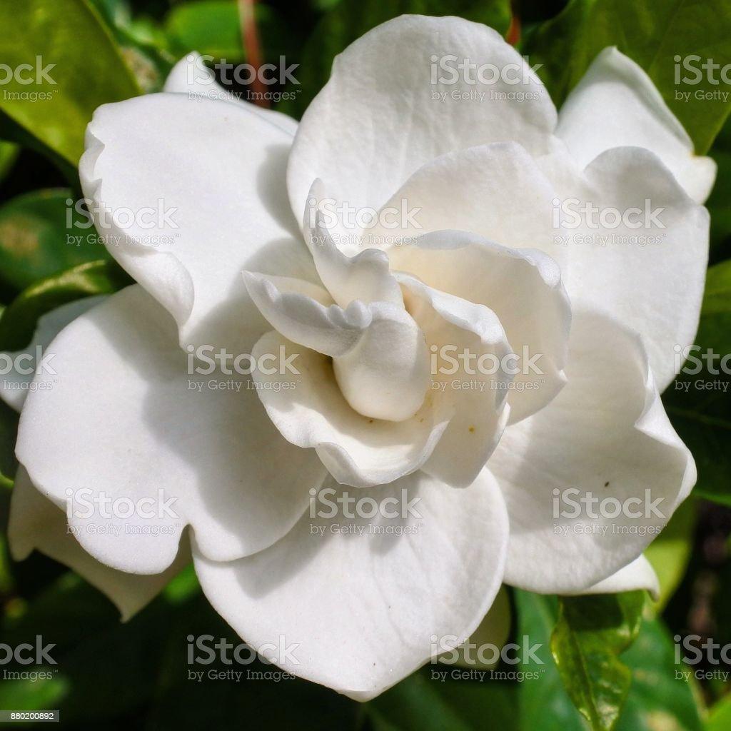 White Gardenia stock photo