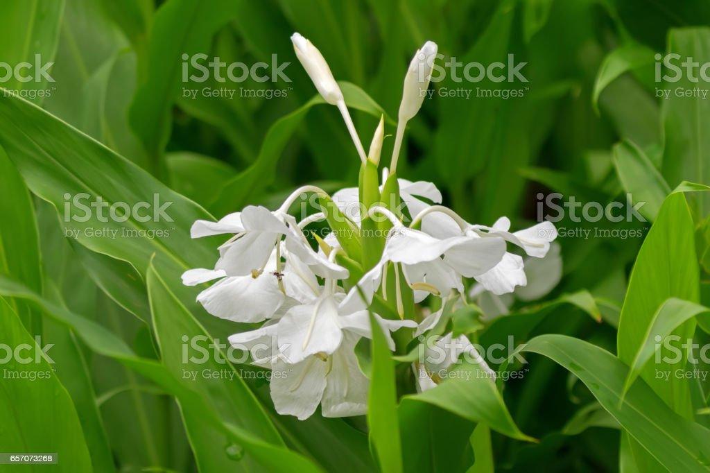 White Garlandlily White Ginger Lily Flower In The Garden In