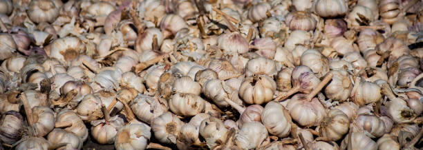 White garlic pile texture. Fresh garlic on market table closeup photo. Vitamin healthy food spice image. Spicy cooking ingredient picture. Pile of white garlic heads. stock photo