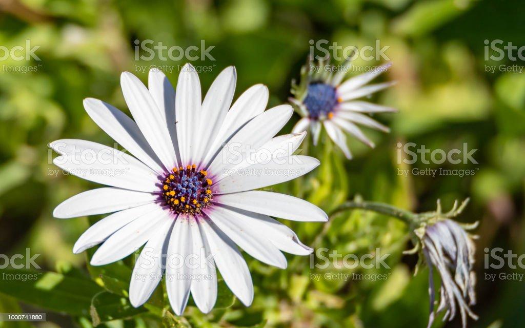White Gazania Daisy Flower with Purple Centre stock photo