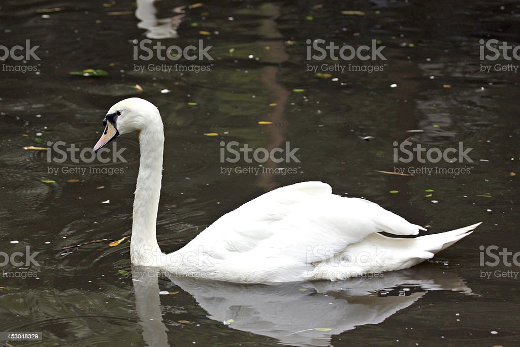 White geese may enjoy swimming. royalty-free stock photo