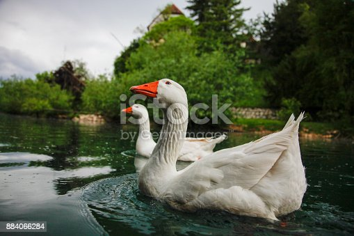 Rural scene of two white geese on a slow river.