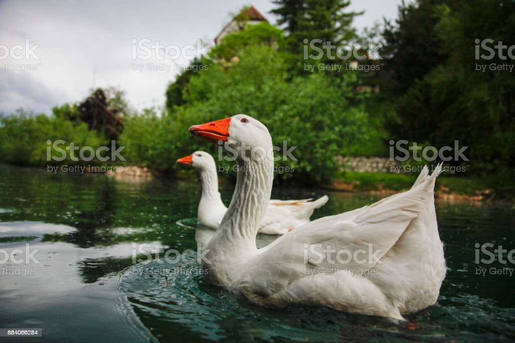 White geese on a pond stock photo