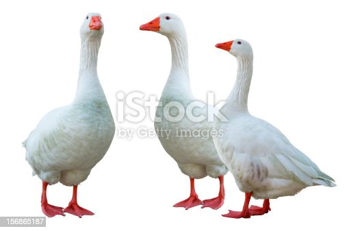 white geese  (isolated)