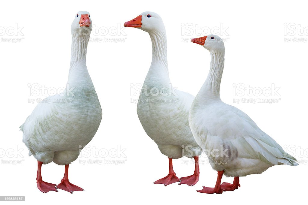 white geese stock photo