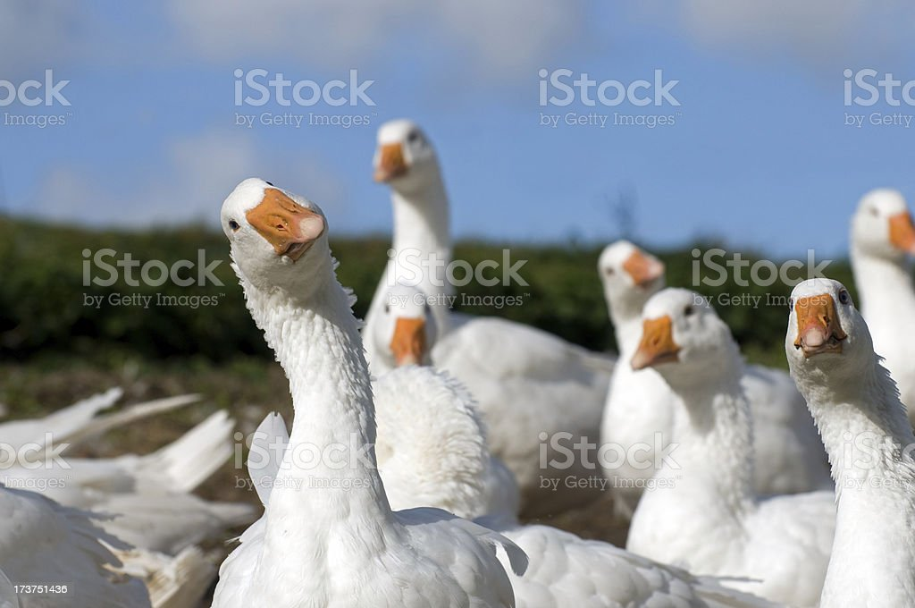 White geese. stock photo