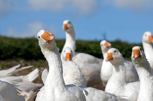 White geese. Flock of white geese on a farm in Denmark. snow goose stock pictures, royalty-free photos & images