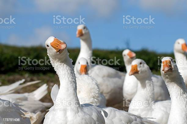 Flock of white geese on a farm in Denmark.