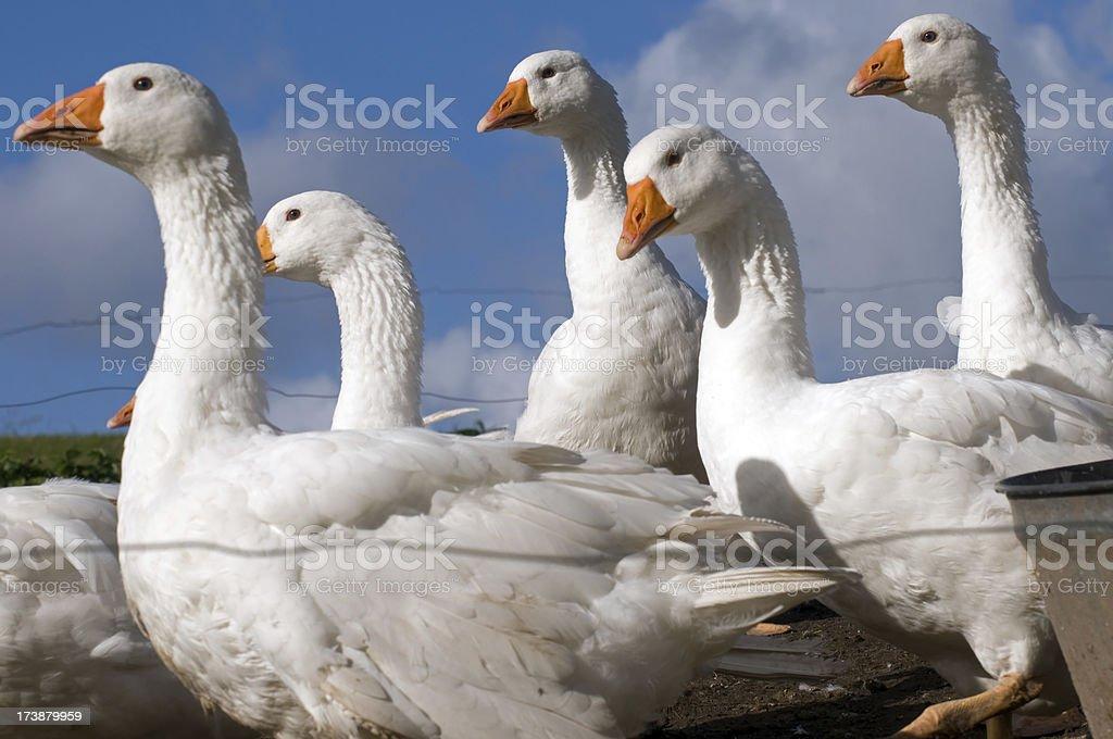 White geese. stock photo