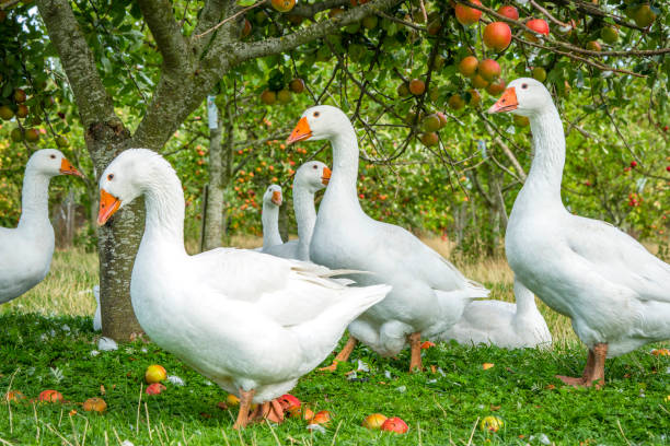 White geese under an apple tree stock photo