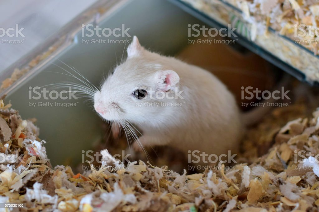 White gerbil sitting in an upright position in cage stock photo