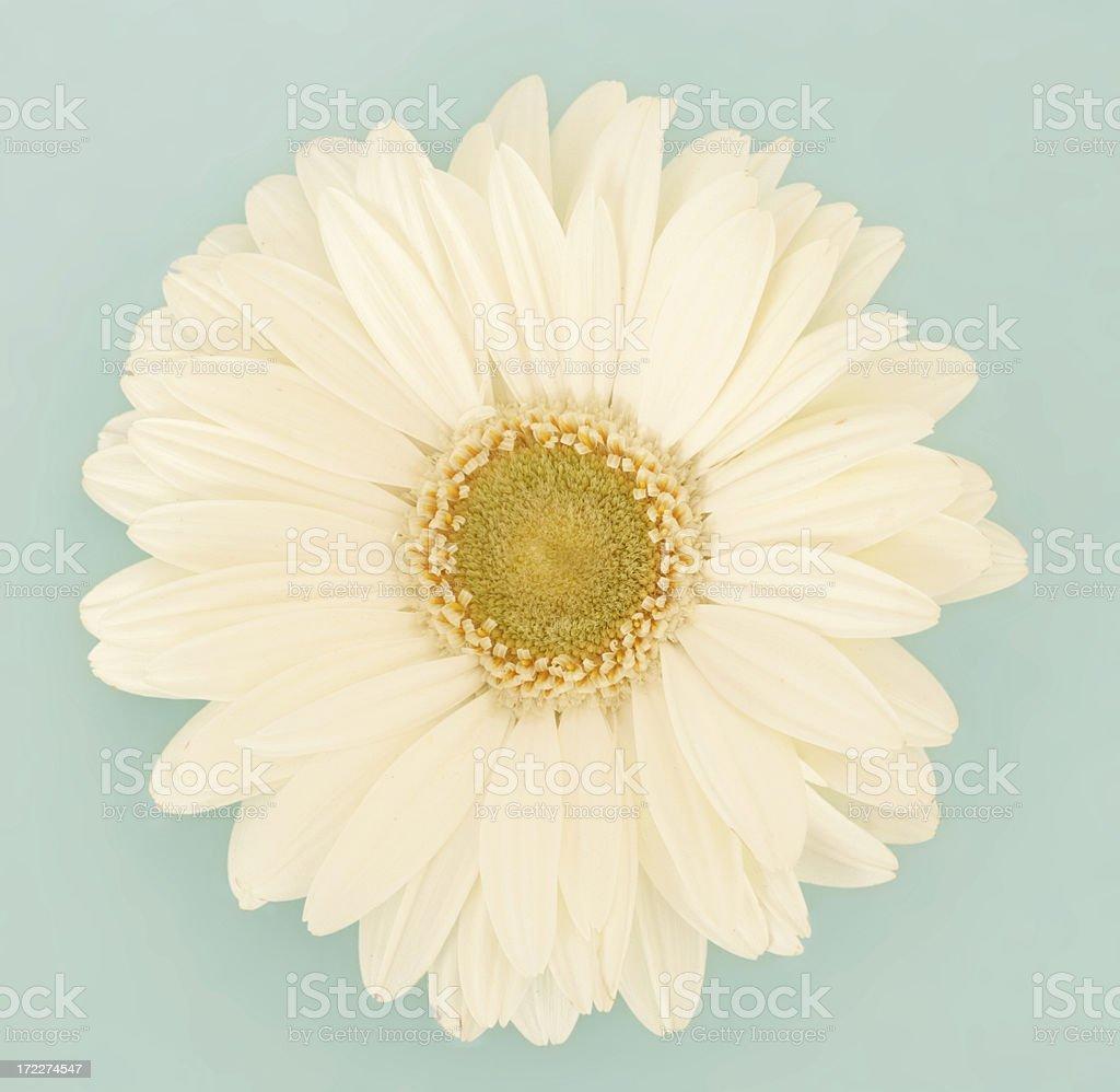White Gerbra royalty-free stock photo