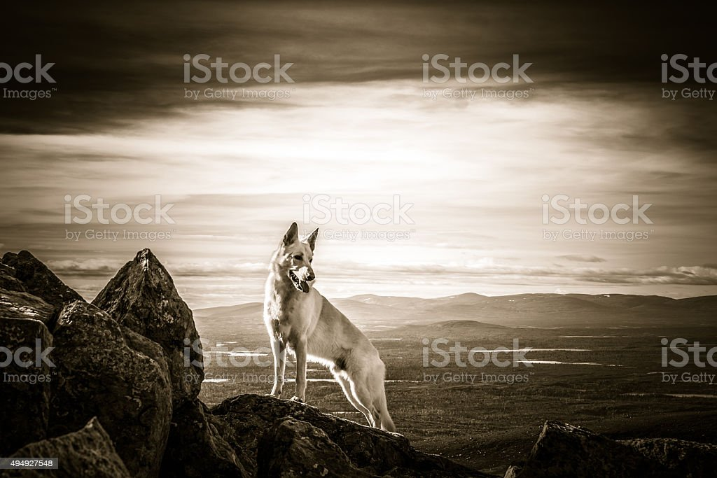 White German Shepherd dog standing on top of the mountain stock photo