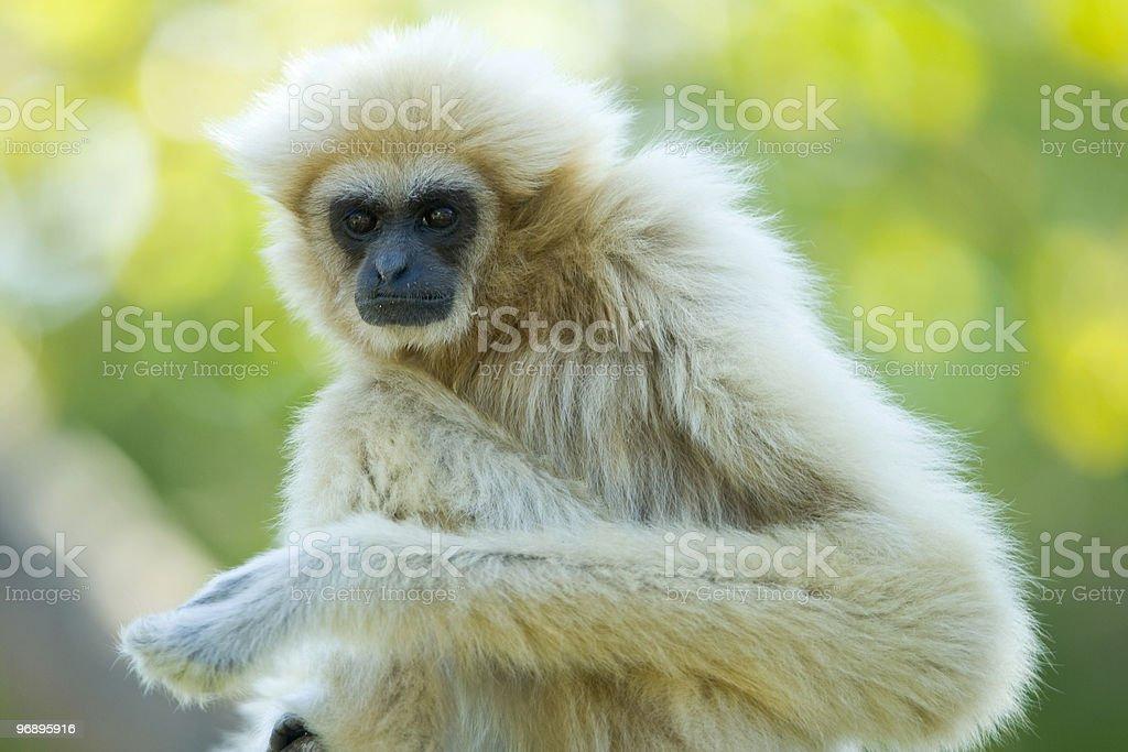 White gibbon ape royalty-free stock photo