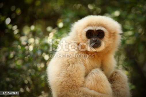 White gibbon close-up. Copy space.MORE FROM SOUTH AFRICA :