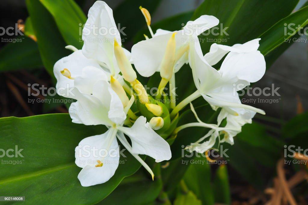 White ginger blooming hedychium coronarium flowers stock photo white ginger blooming hedychium coronarium flowers royalty free stock photo mightylinksfo