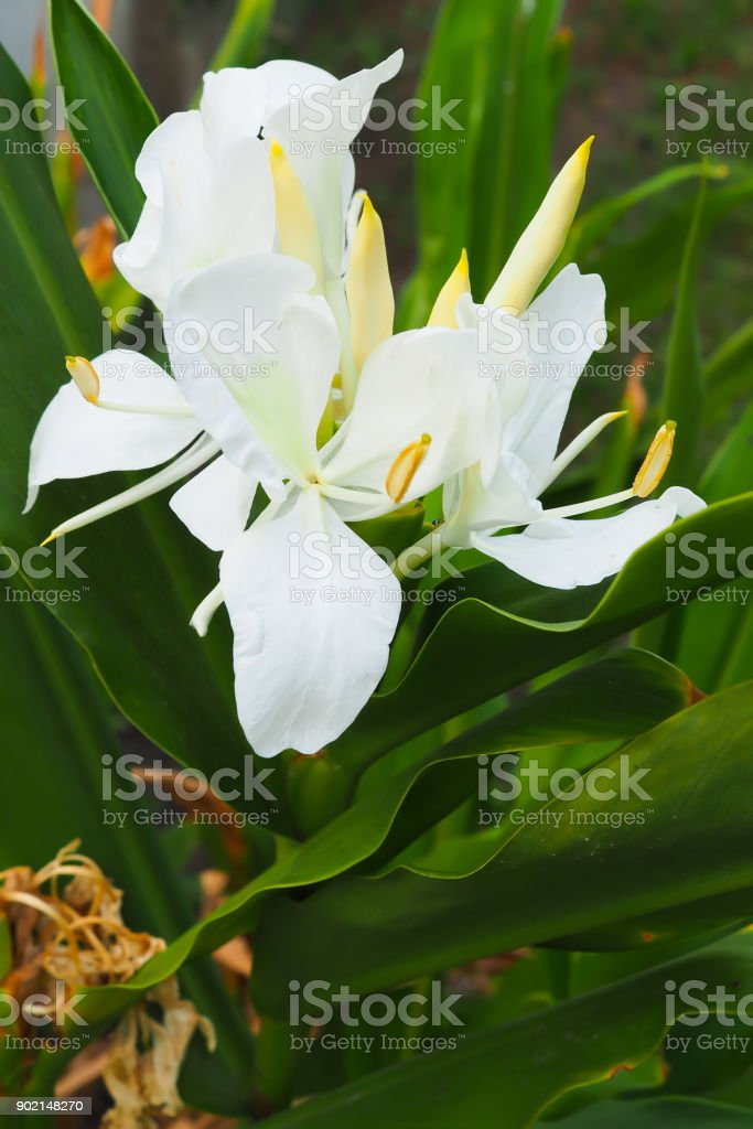 White Ginger Blooming Hedychium Coronarium Flowers Stock Photo
