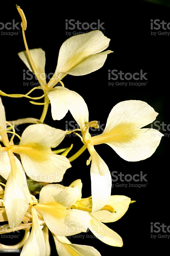 White Ginger on Hawaii stock photo