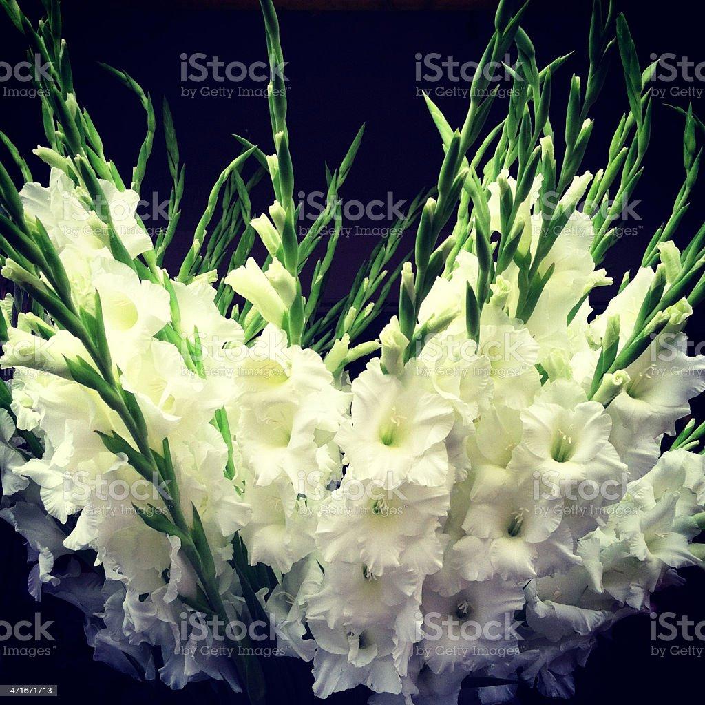 White Gladiola Flowers royalty-free stock photo
