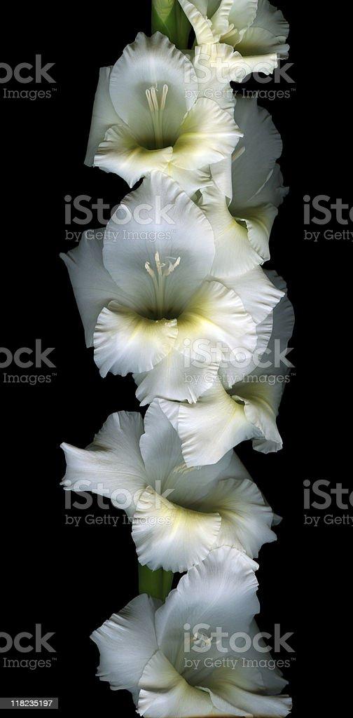 White gladiola - XXXL royalty-free stock photo