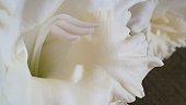 Close up of white gladioli