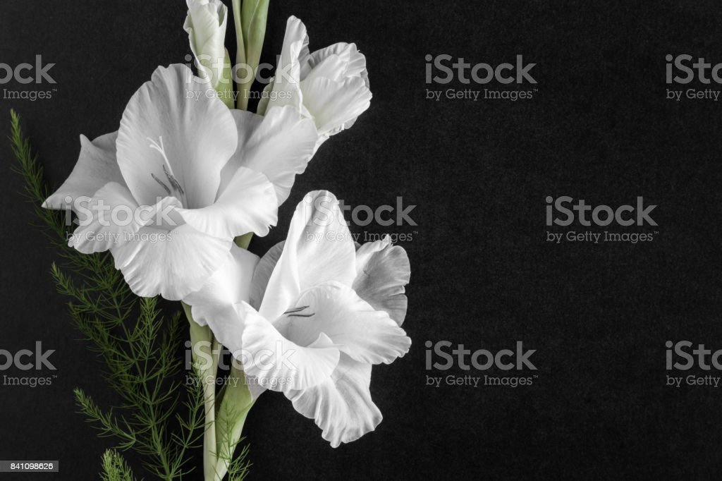 White gladiolus flower on the dark background. Condolence card. Empty place for a text. stock photo