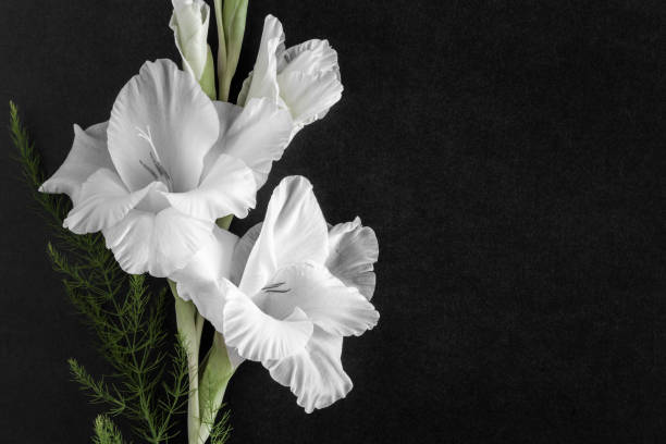 White gladiolus flower on the dark background. Condolence card. Empty place for a text. White gladiolus flower on the dark background. Condolence card. Empty place for a text. mourning stock pictures, royalty-free photos & images