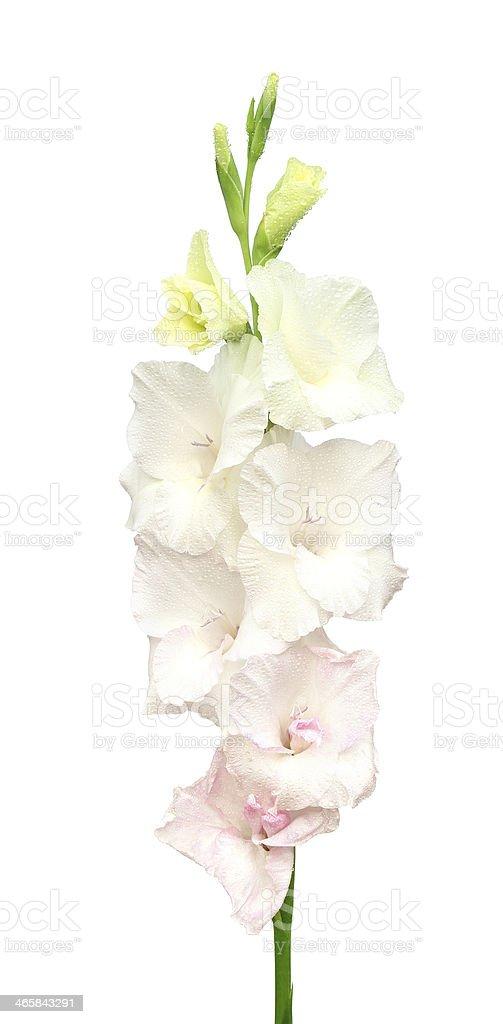 White gladiolus flower stock photo more pictures of beauty istock white gladiolus flower royalty free stock photo mightylinksfo