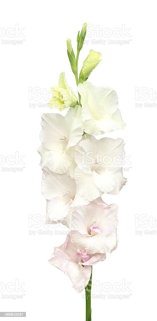 White gladiolus flower stock photo