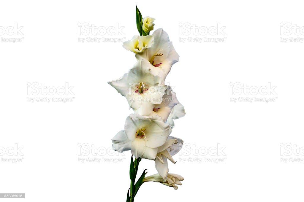 White gladiolus flowers stock photo