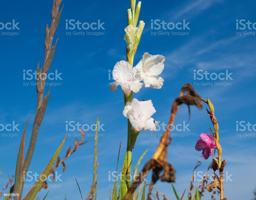 white gladiolus royalty-free stock photo