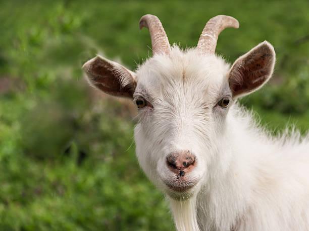 white goat nahaufnahme - ziegenhof stock-fotos und bilder