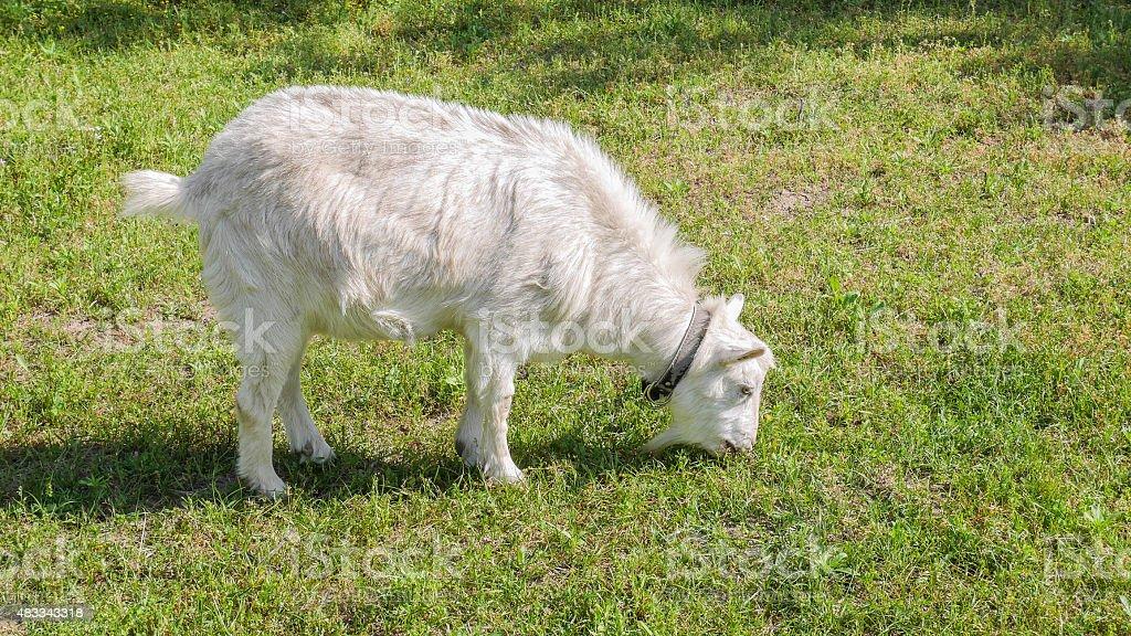 White goat eating dry grass stock photo