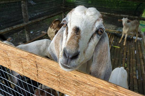 white goat face in a small paddock - ziegenhof stock-fotos und bilder