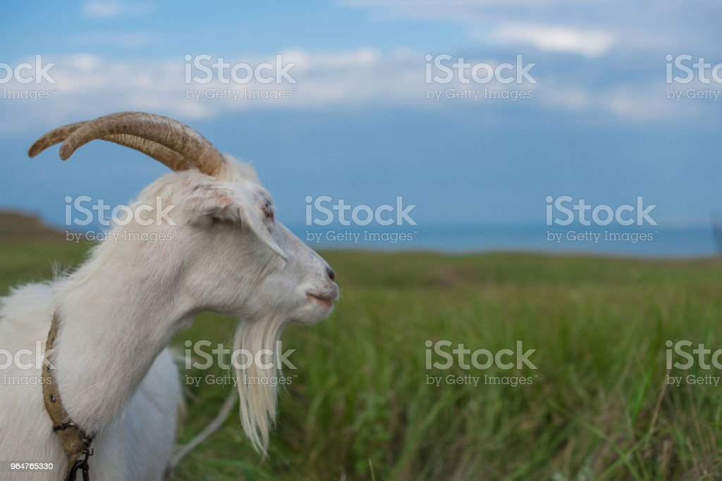 A white goat grazing in a meadow looks towards the sea royalty-free stock photo