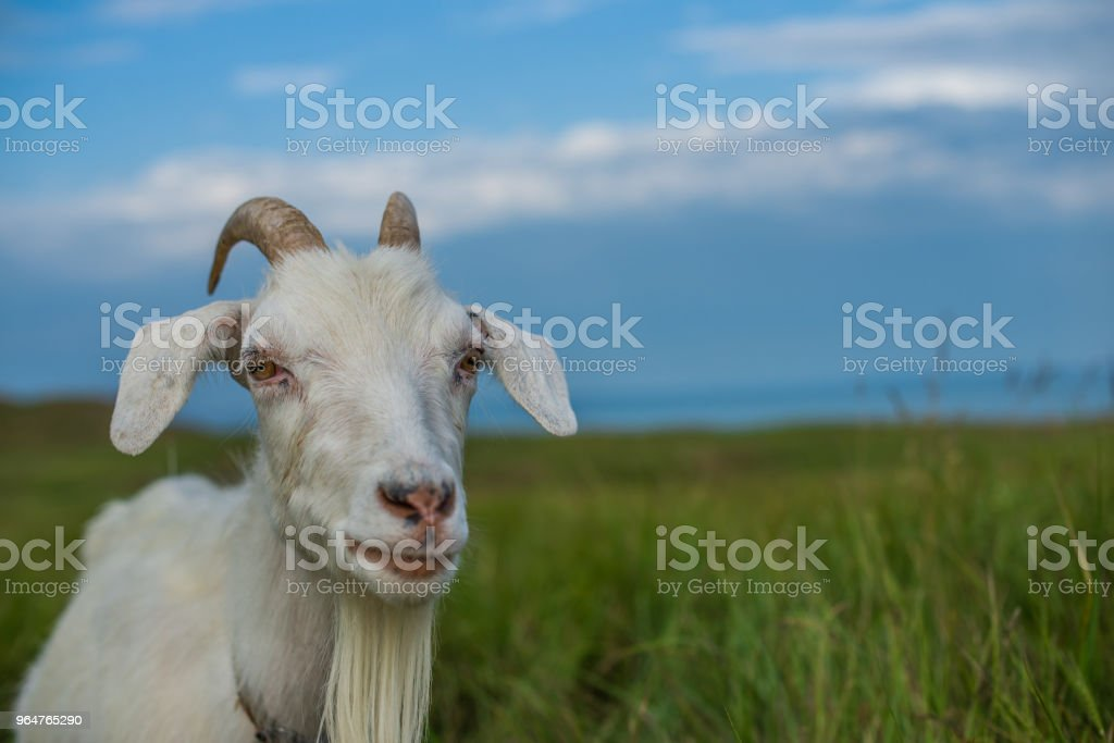 White goat grazing on the field near the sea royalty-free stock photo