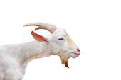 White goat head standing ( open eye )  isolated on white background ,clipping path,apra aegagrus hircus relaxed time