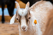White goat in the farm, happy life, Cute, Goat look at camera