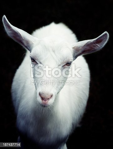 young white goat looking at camera, focus on the eyes