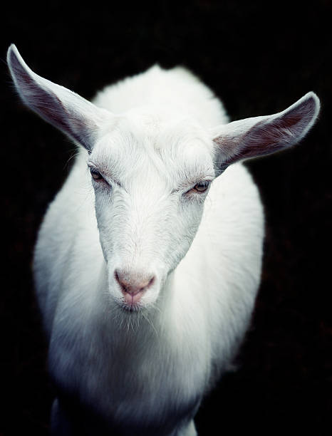 white goat looking at camera stock photo