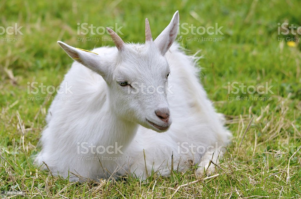 White goat lying on grass royalty-free stock photo
