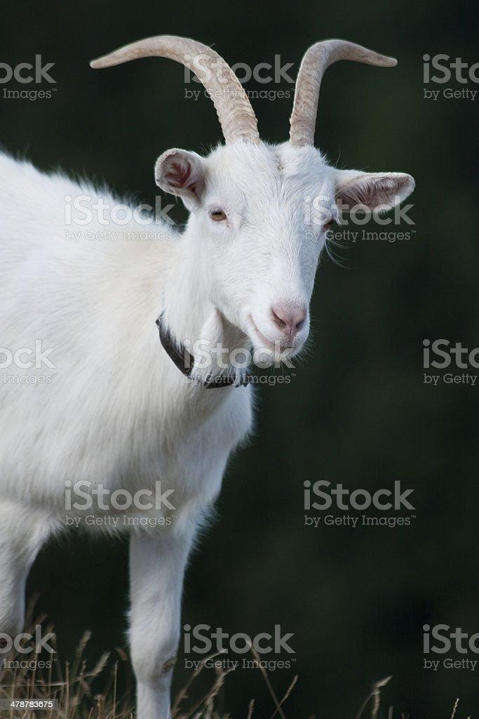 White goat stock photo