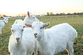 White goatling grazes on meadow. Domestic animals kids herding on green pasture