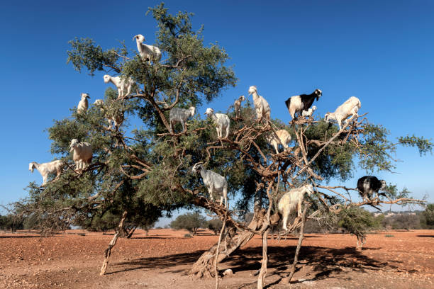 White goats on an Argan tree eating leaves, Essaouira, Morocco. stock photo