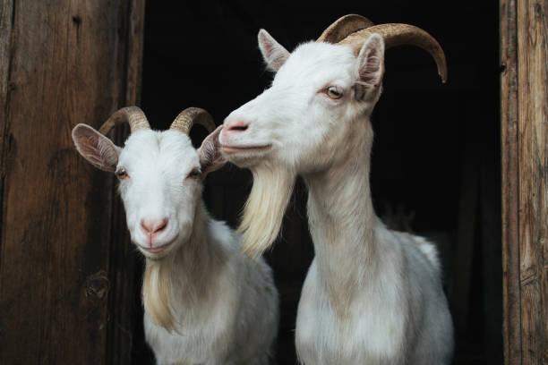 White goats picture id834824266?b=1&k=6&m=834824266&s=612x612&w=0&h=mjgwrwixbgpxdcllcf3nqey17w1vesawqocjlsrq7d0=