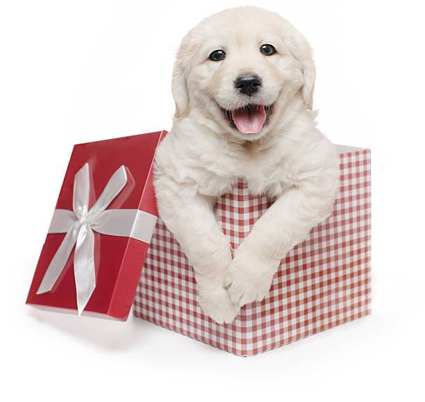 White golden retriever puppy gift box present surprise labrador picture id513949066?b=1&k=6&m=513949066&s=612x612&w=0&h=daltytlaafytbtssbi9zgw5ccfw0dea85ovt4xvef84=